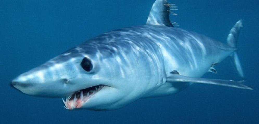 Fonte foto: http://livesicilia.it/2013/06/14/squalo-in-sicilia-allarme-squalo-mako-alla-riserva-plemmirio_333485/