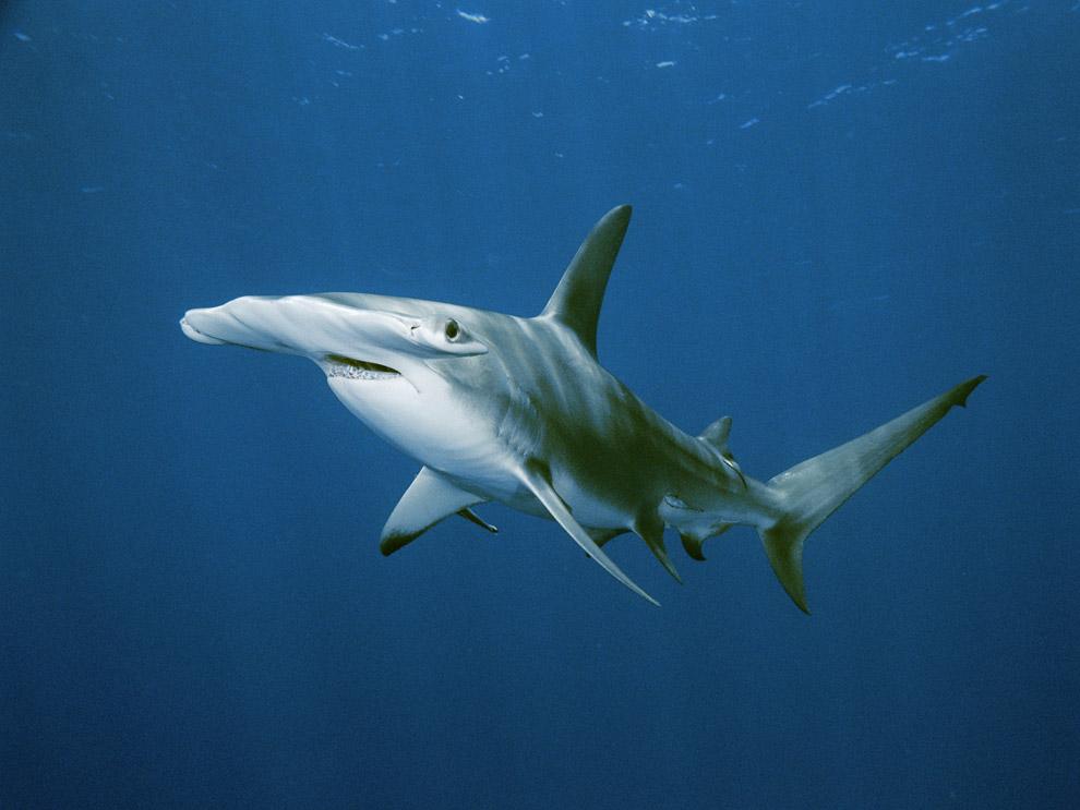 Fonte foto: http://www.nationalgeographic.it/natura/animali/2010/03/11/news/hammerhead_shark-1811/