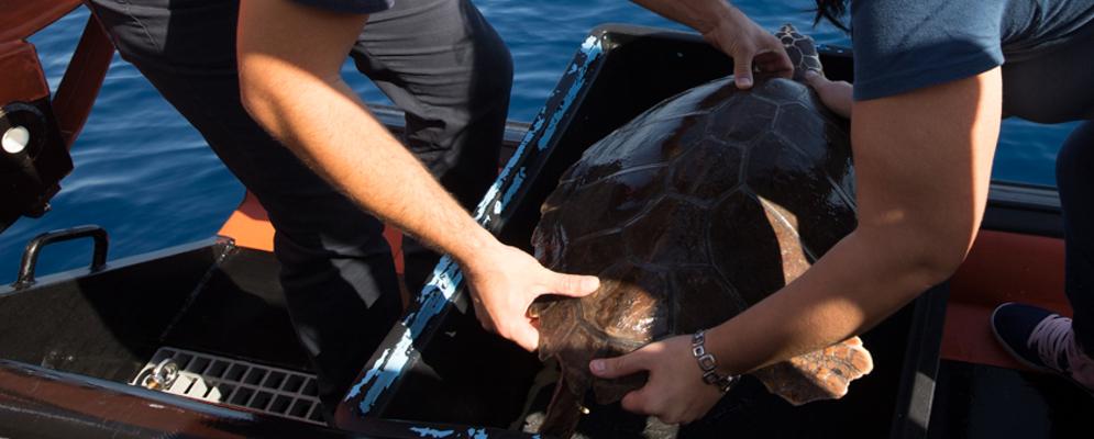 Roccella Jonica: liberata tartaruga in mare