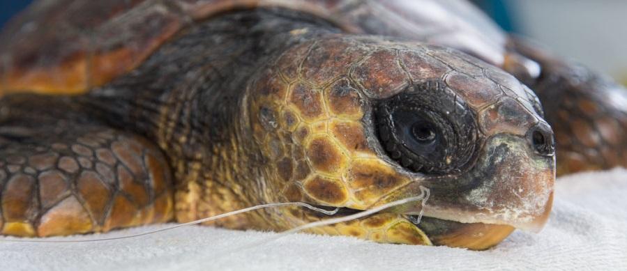 Un'altra tartaruga ferita dal palangaro. Da Briatico a Brancaleone