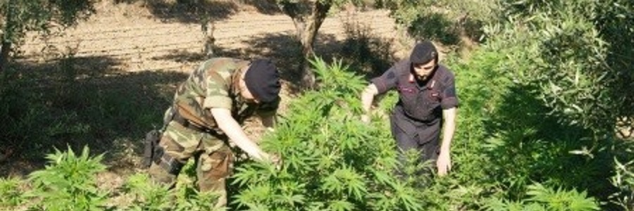 ROCCELLA JONICA: coltivava cannabis, arrestato
