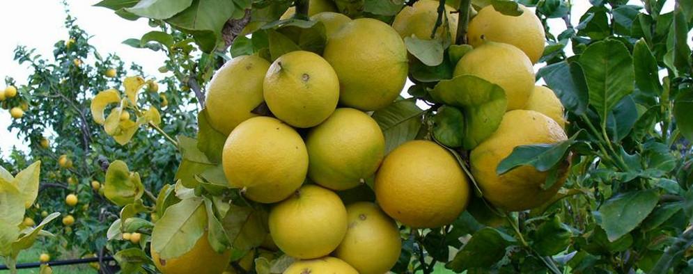 """Caulonia, Convegno """"Dall' arancia al bergamotto; ipotesi di conversione sostenibile"""""""