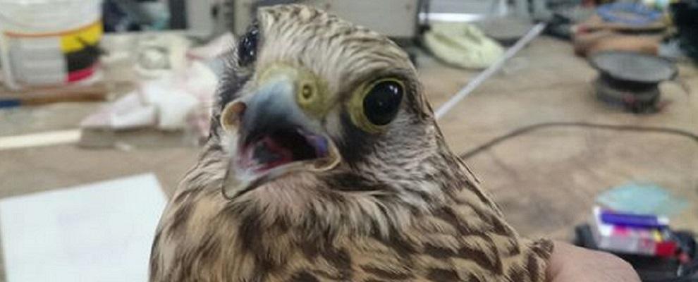 Falco gheppio ferito da cacciatori