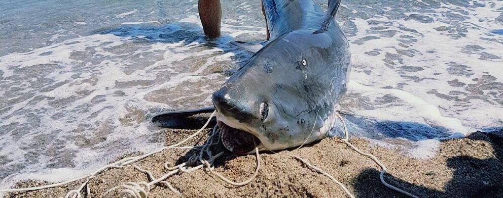 Crotone, pescato squalo volpe di 200 kg