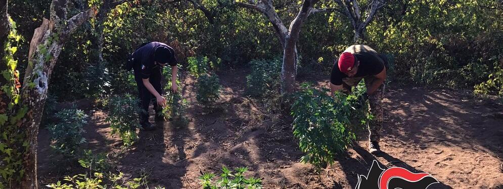 Rinvenute circa 400 piante di canapa indiana a Gioia Tauro