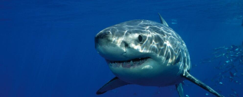 Lo squalo dello Stretto di Messina: ecco perchè tra Scilla & Cariddi c'è un habitat ideale