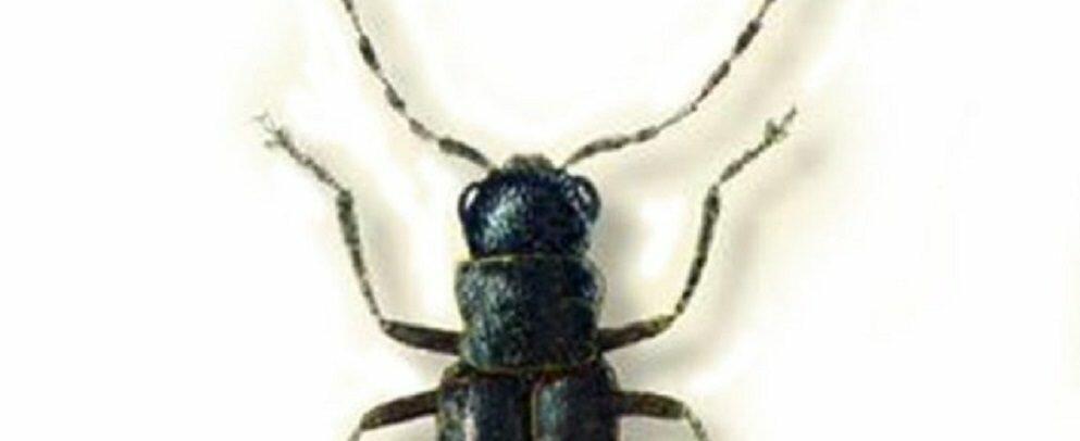 Scoperta una nuova specie di insetto in Aspromonte