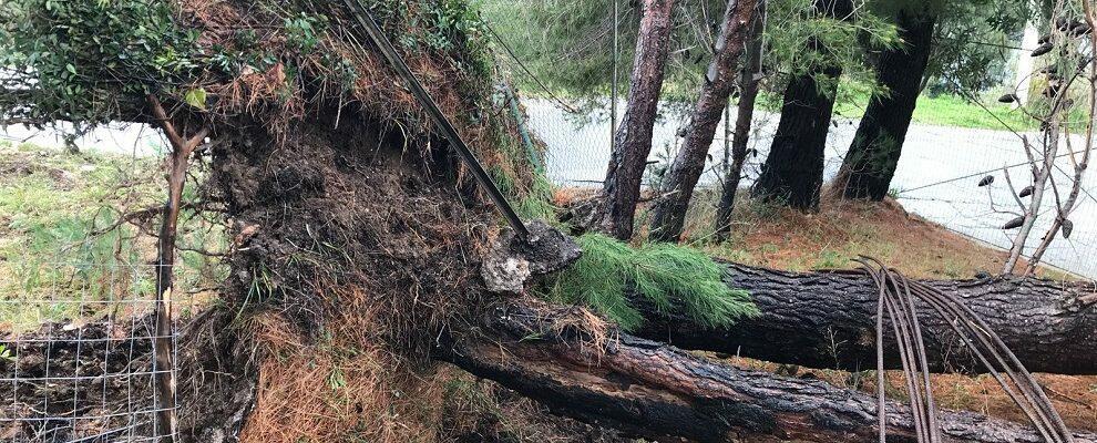 Danni del maltempo anche a Ursini, alberi sradicati