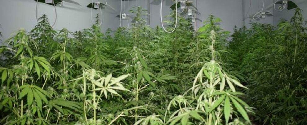 Capannone industriale trasformato in piantagione di marijuana, un arresto
