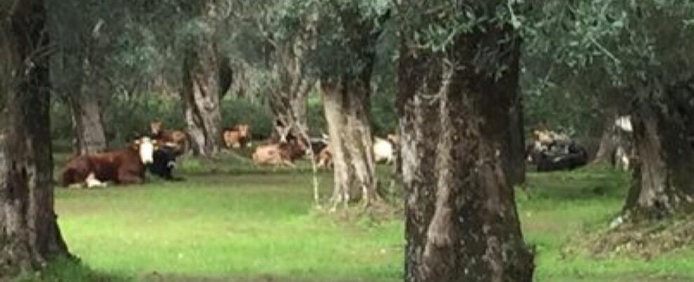 'Ndrangheta: a caccia delle Vacche Sacre nel parco dell'Aspromonte