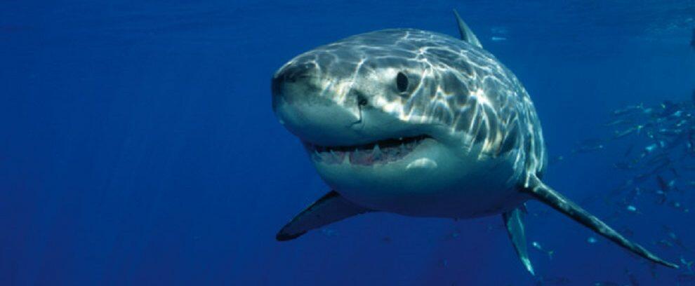 Avvistato squalo nello Stretto. La Guardia Costiera raccomanda prudenza