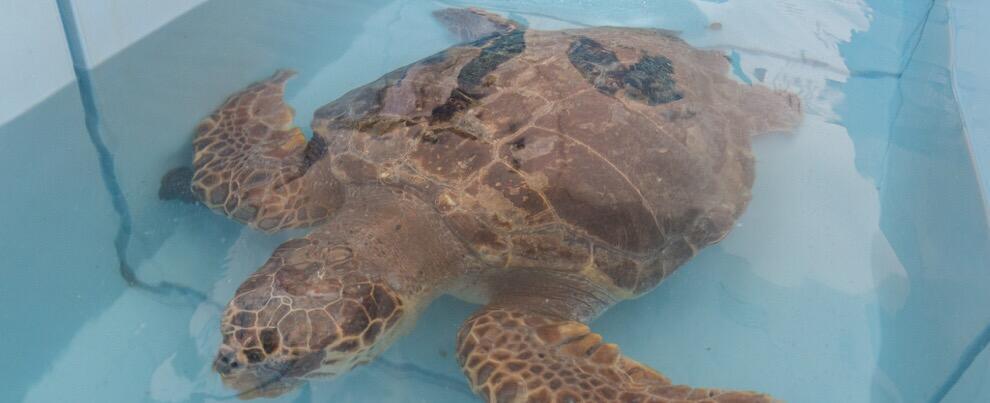 Torna in mare la tartaruga marina di oltre 90 kg soccorsa dal CRTM di Brancaleone