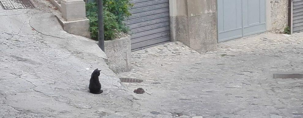 A Caulonia i topi attaccano i gatti! – video