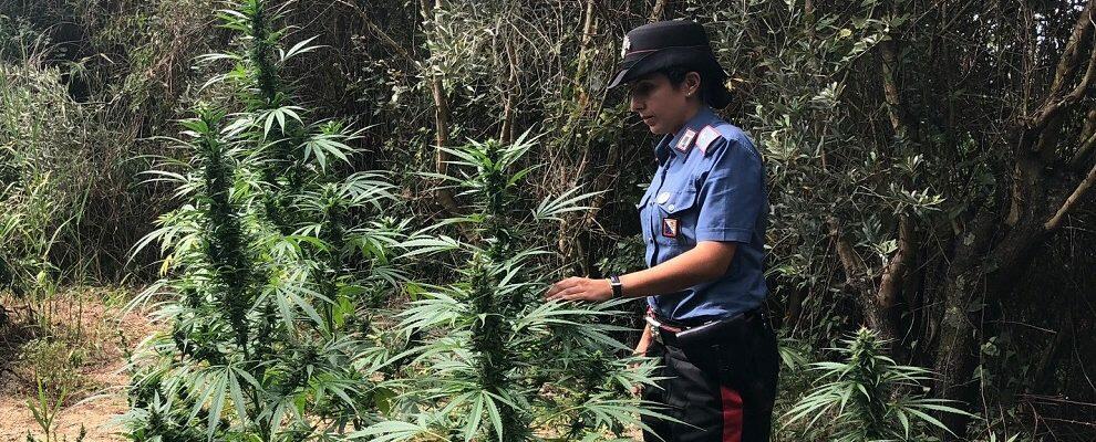 Un arresto nel reggino per produzione e coltivazione di sostanze stupefacenti
