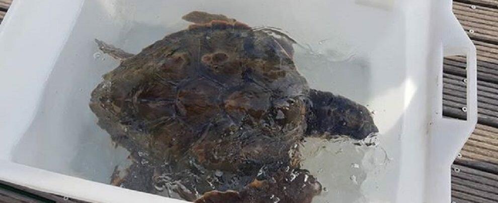 Salvata tartaruga al porto di Roccella