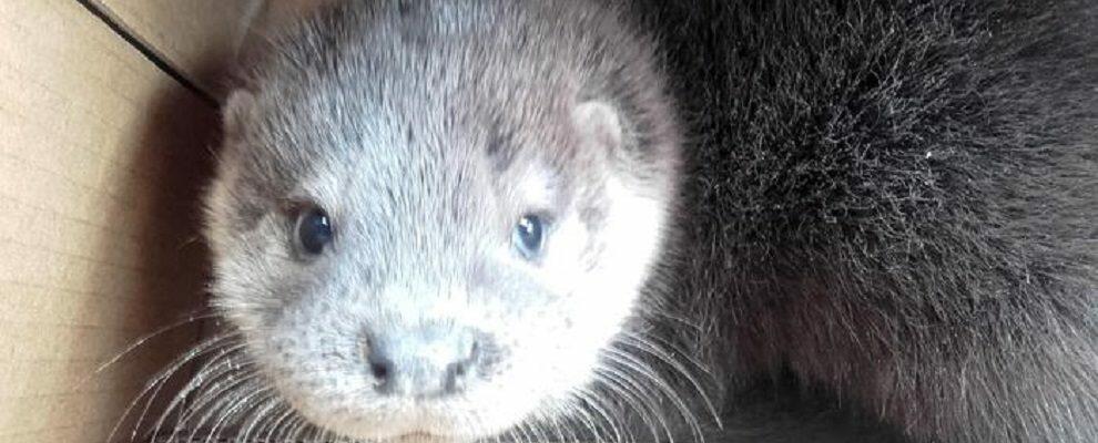 Cucciolo di lontra trovato in Calabria