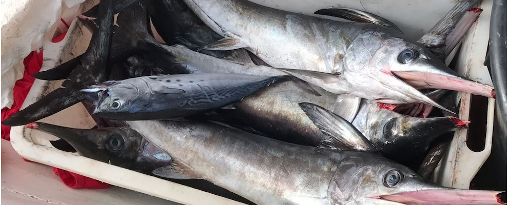 La Guardia Costiera di Roccella sequestra pesce spada sottomisura