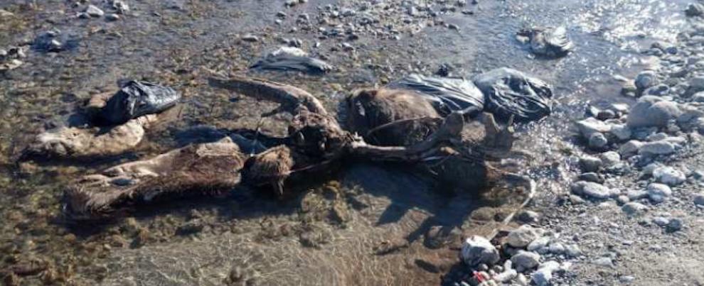 Ancora presenti le carcasse di animali lungo la fiumara Allaro