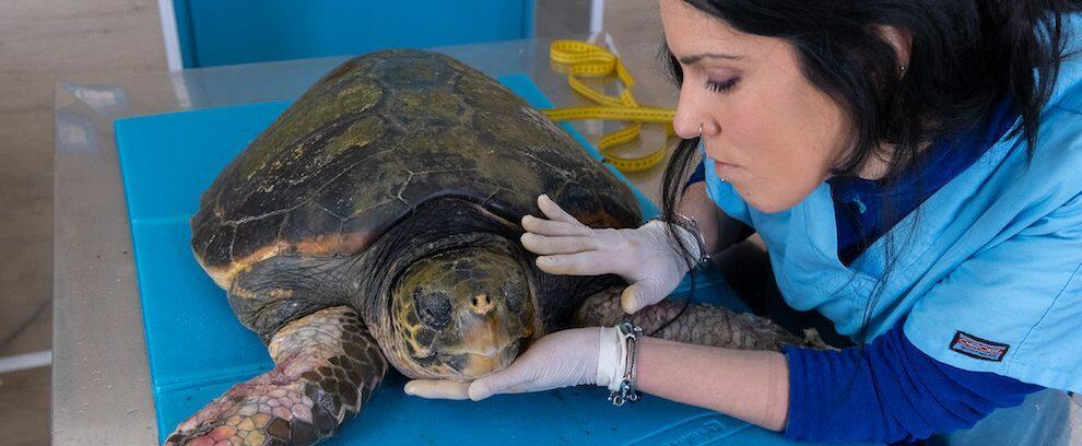 Recuperata una tartaruga marina gravemente ferita nel reggino