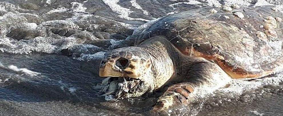 Trovata in Calabria una tartaruga morta con la bocca piena di plastica
