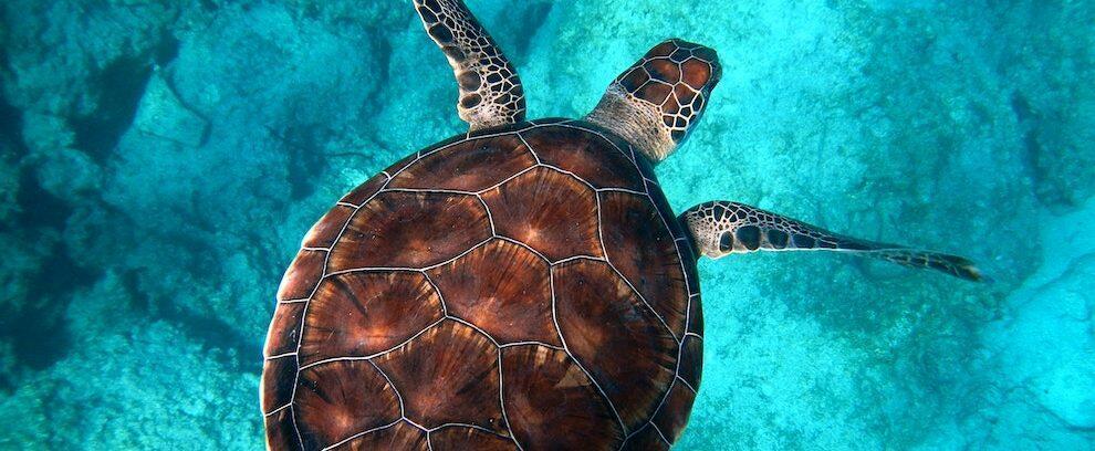 Una tartaruga depone le uova nella spiaggia di Monasterace