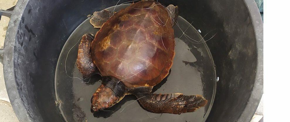 Salvata una tartaruga Caretta caretta al largo di Caulonia