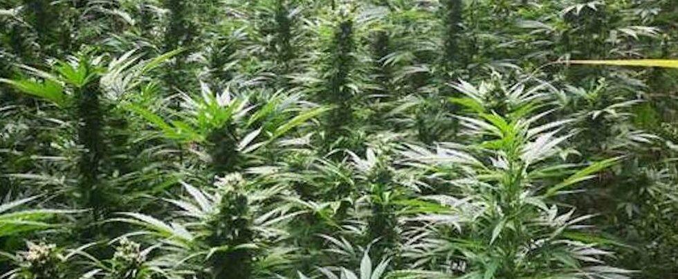 Scoperta una piantagione di marijuana nella Locride