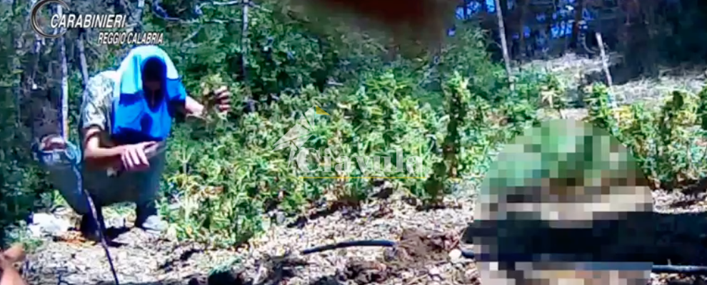 Coltivavano piantagioni di marijuana nella Locride, 12 misure cautelari