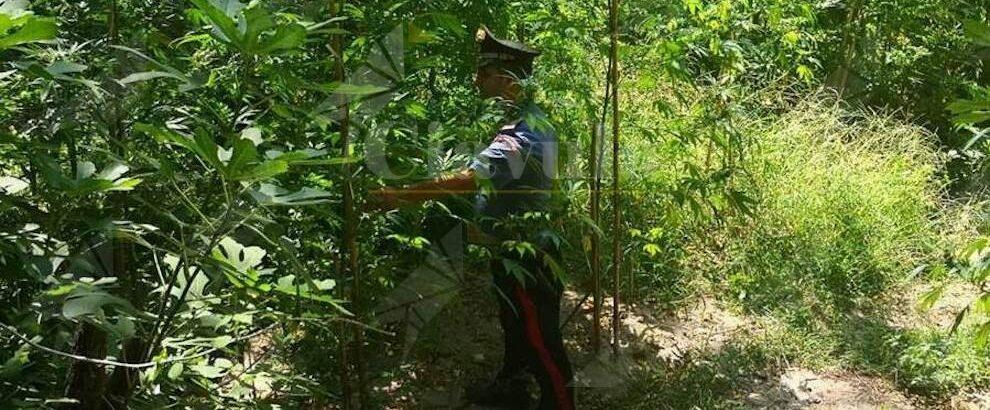 Sorpreso mentre annaffiava una piantagione di canapa, in manette un 25enne