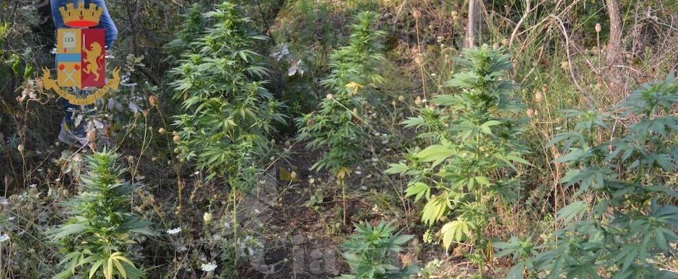 Scoperta una piantagione di marijuana a Grotteria