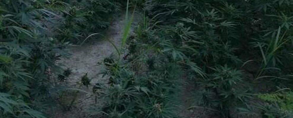 Rinvenuta l'ennesima piantagione di marijuana nella Locride