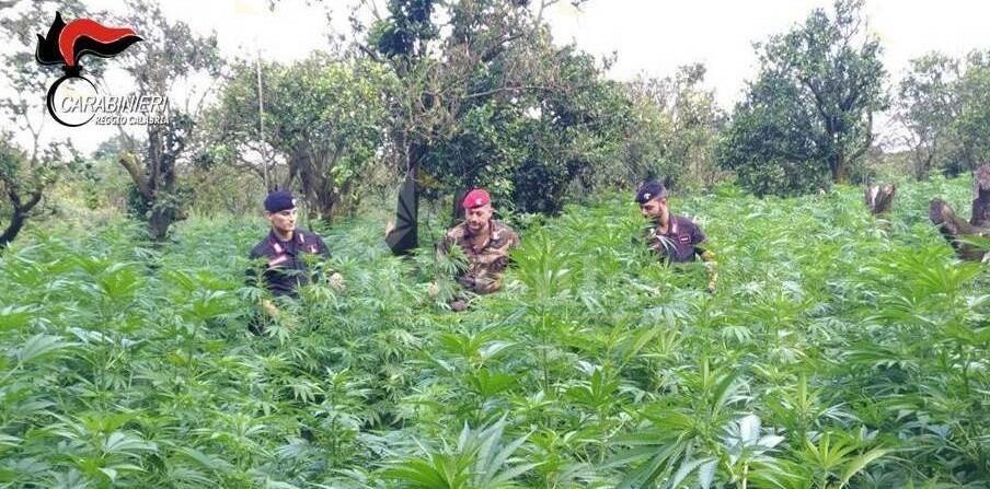 Locride: sequestrate 10.000 piante di marijuana. Eseguiti 15 arresti tra Africo, San Luca e Samo