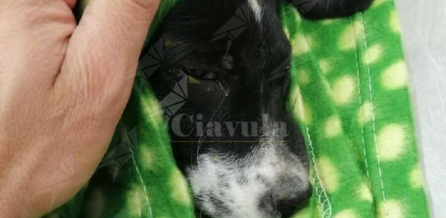 Lotta tra la vita e la morte il cucciolo soccorso oggi a Caulonia