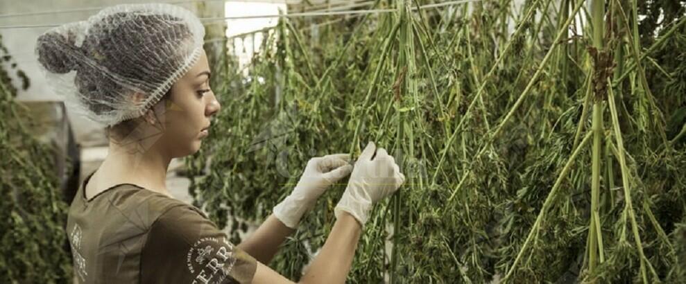 Coltivano 335 piante di canapa, 3 persone in manette