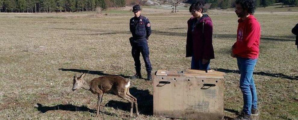 Piccolo di capriolo trovato ferito a bordo strada: curato e reimmesso in natura