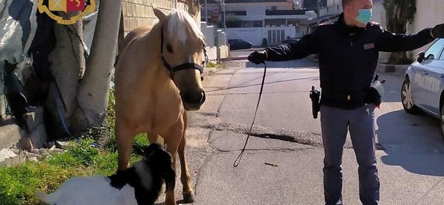 Porta a spasso un cavallo e una capra nonostante il divieto. Denunciato dalla polizia