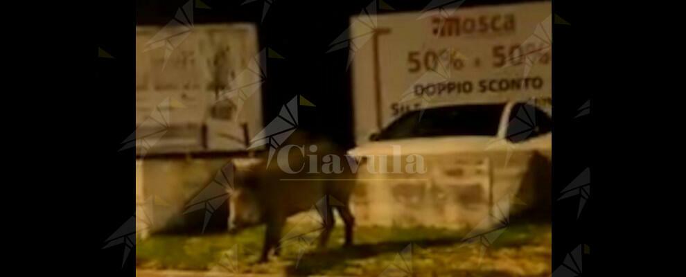 Ieri notte un cinghiale passeggiava per Caulonia marina – video