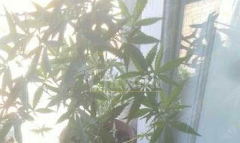 Gioiosa ionica: coltiva marijuana in terrazza, arrestato un 55enne