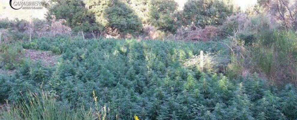 Rinvenute 2000 piante di marijuana a Gioiosa e Grotteria