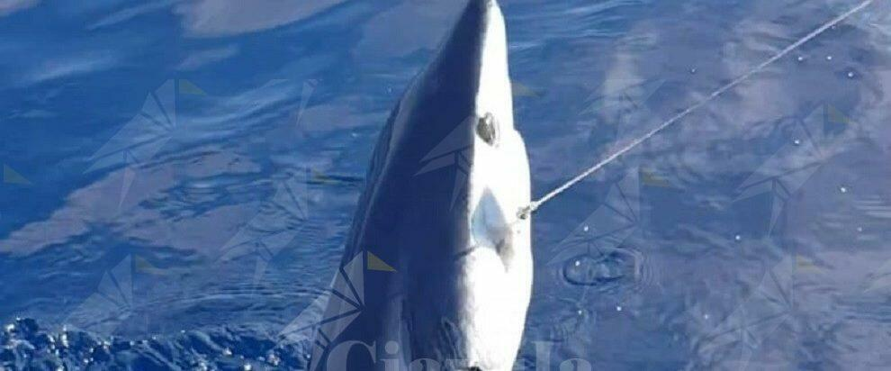 Pescato a Bovalino uno squalo Mako, veloce e potente predatore del mare – video