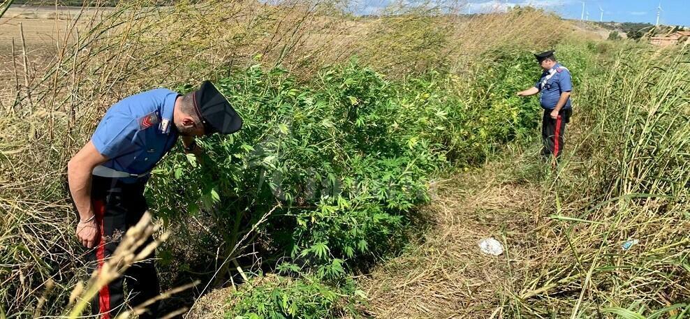 Calabria: Scovata piantagione di marijuana, due persone in manette