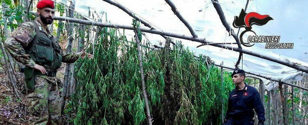 Scoperte due piantagioni di canapa indiana a Reggio Calabria