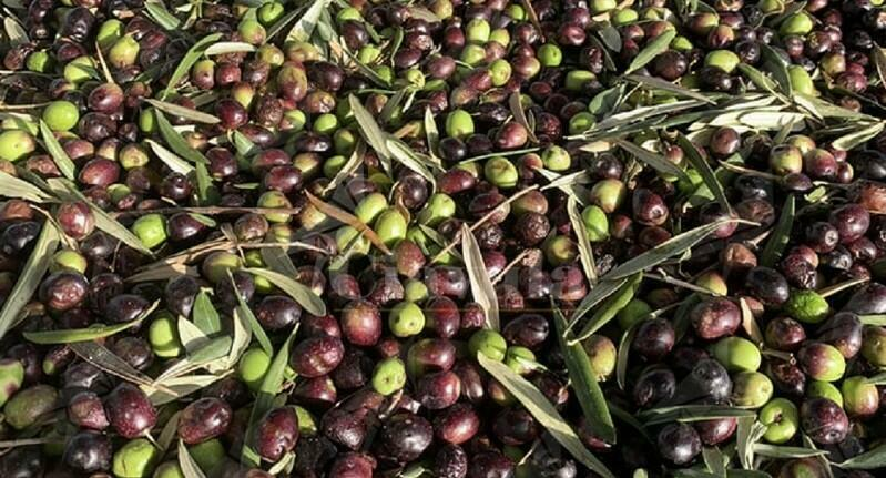 Rubano 150 kg di olive. Denunciati per furto aggravato