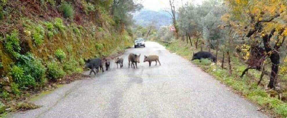 Branco di cinghiali invade la strada tra Pazzano e Bivongi
