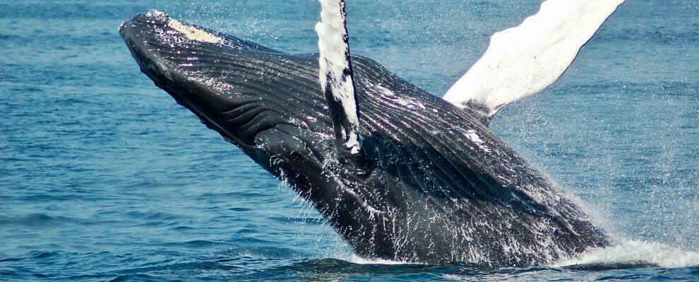 Balena inghiottisce pescatore, salvo per un colpo di tosse