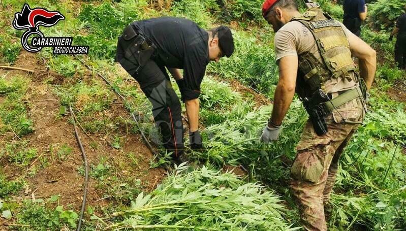 """Cinquefrondi, scovata piantagione di marijuana tra i boschi della """"Limina"""". Sequestrate 1.229 piante"""