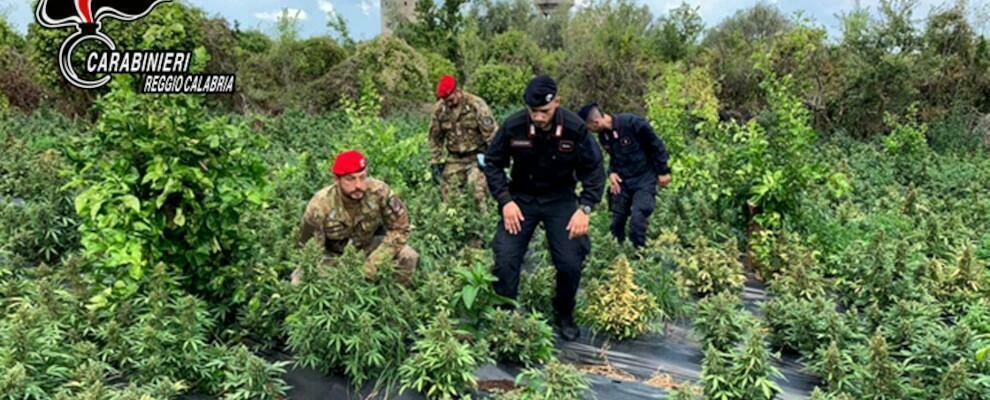 Sequestrate 2500 piante di marijuana nel reggino, in tre finiscono ai domiciliari
