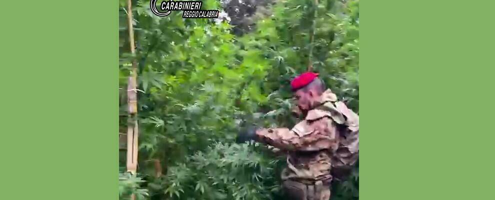 Scoperta una piantagione di marijuana a Mammola