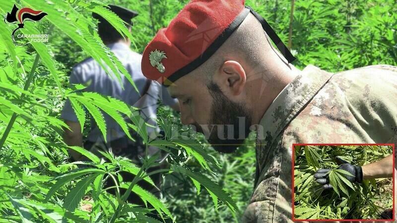 I carabinieri scovano una piantagione di marijuana,  coltivatore 29enne deferito