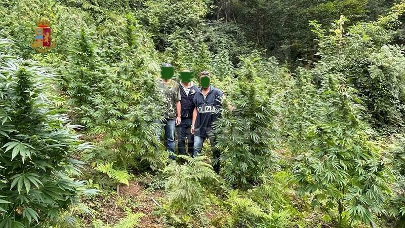 Scovata in Calabria una grossa piantagione di marijuana. Sul mercato avrebbe fruttato circa 150 mila euro
